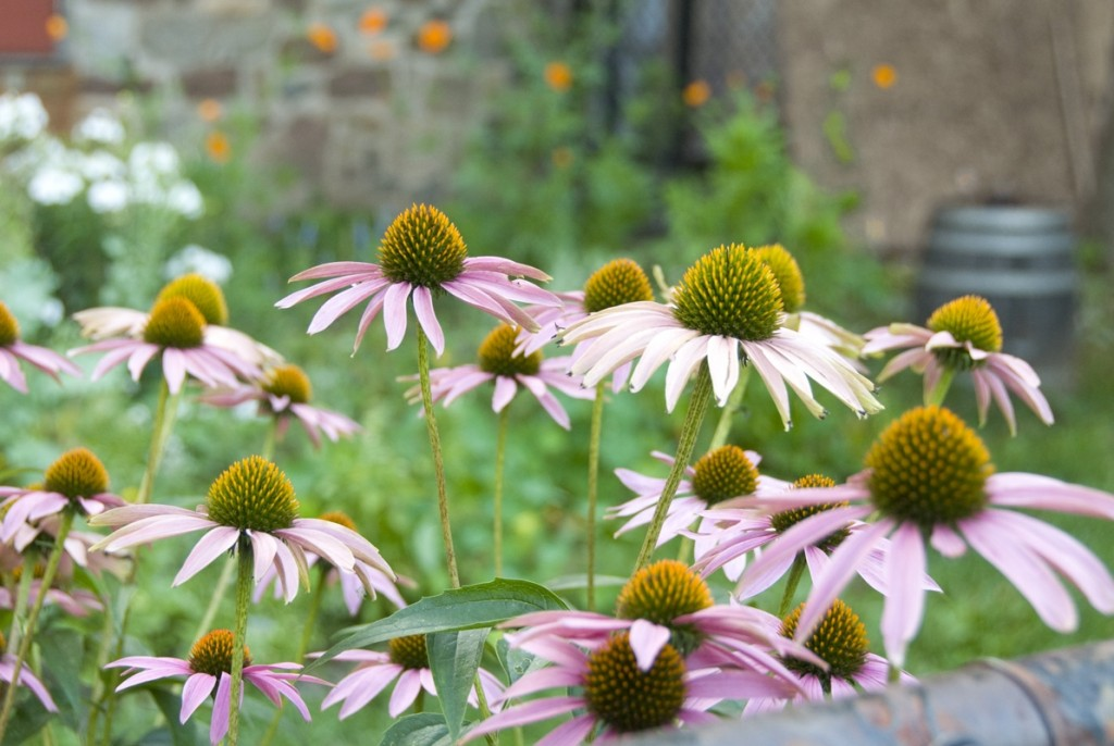 Coneflowers in the gardens at OSH