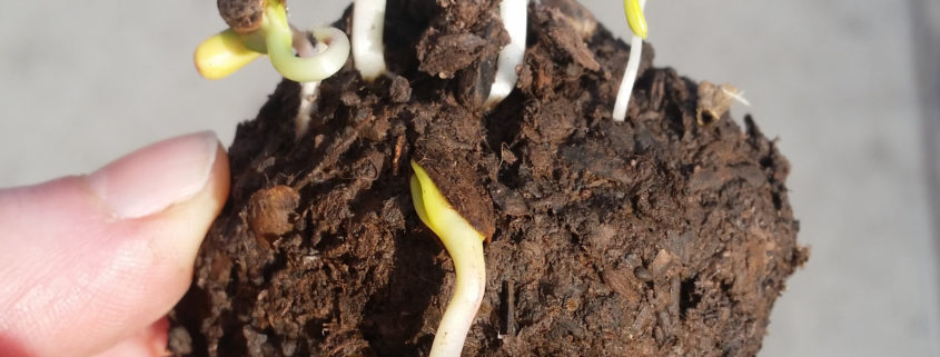 "A ""seed bomb"" growing tiny green sprouts"