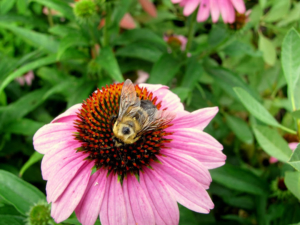 A honeybee perched on top of a pink flower