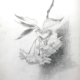 A black and white pencil sketch of a cluster of cherry blossoms