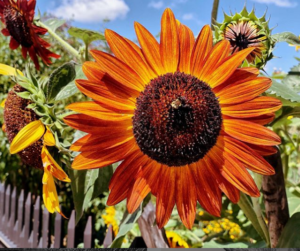 A large orange sunflower