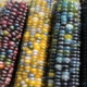 colorful heirloom corn